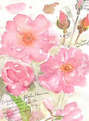 Etude de roses annotée, réf. FL008 - vente reproduction