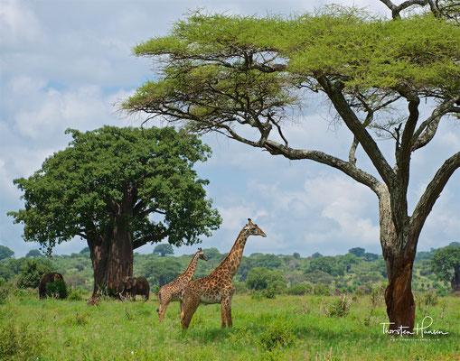 Giraffe im Tarangire-Nationalpark