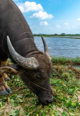 Wasserbüffel in den Reisefeldern von Hoi An