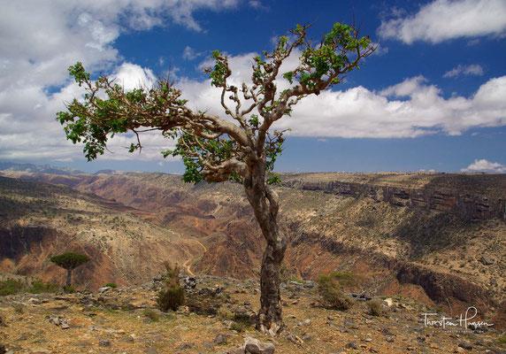 Weihrauchbaum auf Sokotra