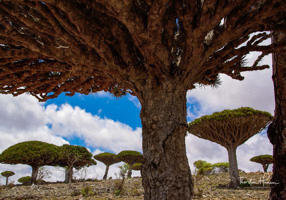 Die meisten Arten haben ihre Heimat in den Tropen der Alten Welt (Paläotropis), also Asien und Afrika