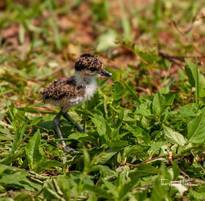 Spornkiebitz Kücken auf der Insel Ngamba