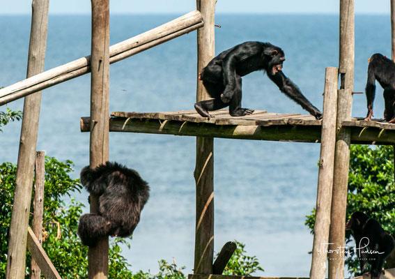 Zurzeit leben rund 50 Schimpansen in dieser Auffangstation. Hier finden die Affen wieder eine geschützte Heimat, werden medizinisch versorgt und gesund gepflegt.