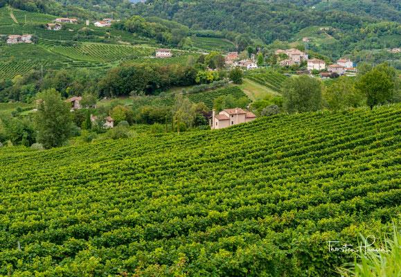 Weinreben in der Nähe von Refrontolo