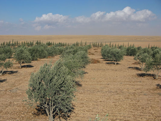 Olivenfelder der Familie al-Hassans