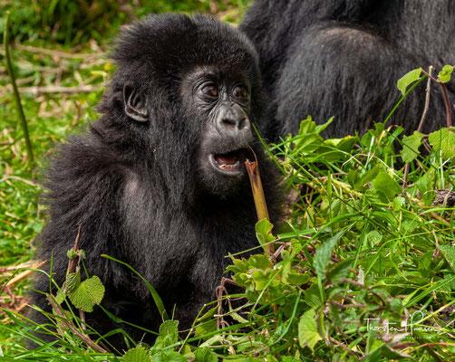 Berggorillas verputzen bis zu 34 Kilogramm Blätter, Knospen, Triebe, Baumrinde, Wurzeln und Früchte am Tag.