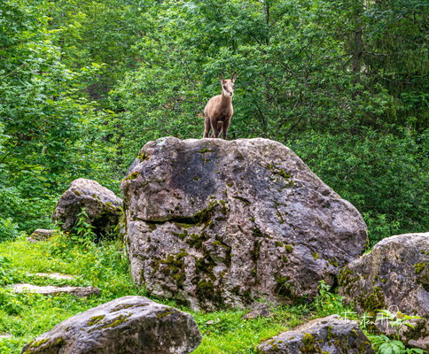 Die Alpen-Gämse (Rupicapra rupicapra) in Hinterriß. Ausgewachsene Gämsen haben eine Kopf-Rumpf-Länge von 110 bis 130 Zentimetern...