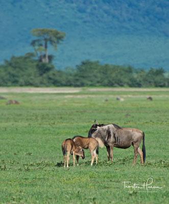 Gnus im Ngorongoro-Krater