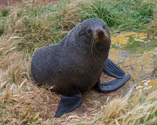 Neuseeländischer Seebär auf der Otago Halbinsel