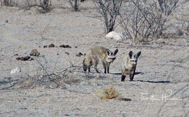 Die sehr seltenen Löffelhunde im Etoscha NP