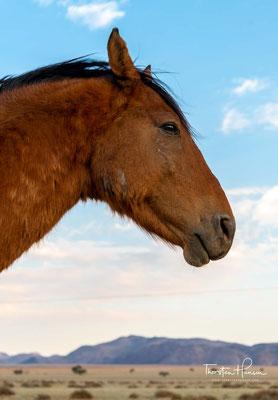 Die entlaufenen Pferde lebten fortan in der Namib und in der lebensfeindlichen Umgebung von Aus. Überleben konnten sie aufgrund eines Bohrloch bei Garub.