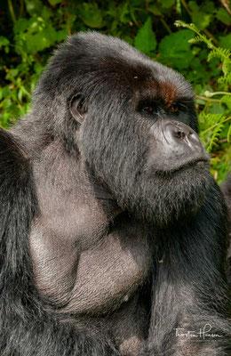 """Die IUCN listet sie aufgrund der geringen Population gleichwohl als """"vom Aussterben bedroht"""" (critically endangered)."""