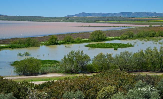 Flamingos in der Lagune Fuente de Piedra