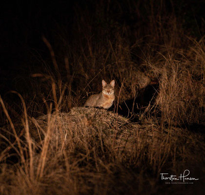 Afrikanische Wildkatze im Kafue NP in Sambia