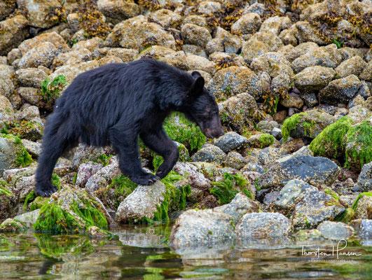 Bären Safari in Tofino auf Vancouver Island