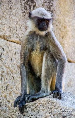 In und um Hampi leben zahlreiche Makaken, die keinerlei Menschenscheu haben.