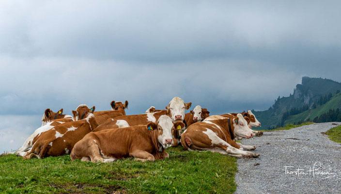 Vorbei an den zahlreichen Kühen, wandere ich vom Brauneck Gipfel in 45 min zum Stefan und zur Kotalm.