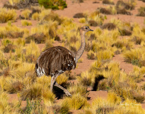 Der Nandu erreicht eine Gesamthöhe von bis zu 160 Zentimetern und besitzt mit einer Flügelspannweite von bis zu zweieinhalb Metern die größten Flügel unter allen Laufvögeln