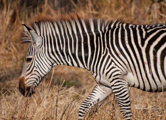 Crawshay-Zebra (E. q. crawshayi De Winton, 1896); Nordmosambik, östliches Sambia (z. B. Südluangwa-Nationalpark); die Steppenzebra-Unterart mit der dichtesten Streifung