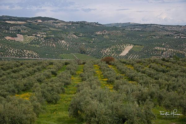 Olivenfelder in der Umgebung von Zuheros