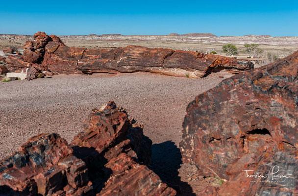 Die nun verstärkt einsetzende Erosion durch Wind und Wasser trug nach und nach die weicheren Schichten der Sedimente ab und legte so die versteinerten Baumstämme, die aus harter Quarzsubstanz bestehen, frei.