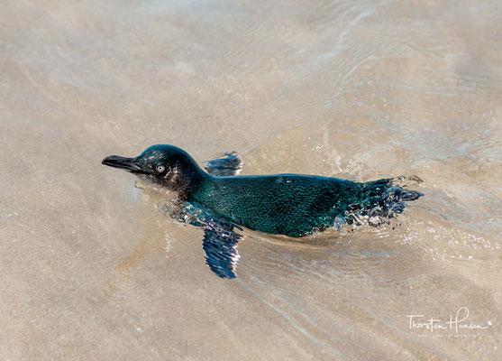 Das Hauptverbreitungsgebiet des Zwergpinguins ist Neuseeland. Dort heißen sie little blue penguins oder einfach nur blue penguins.