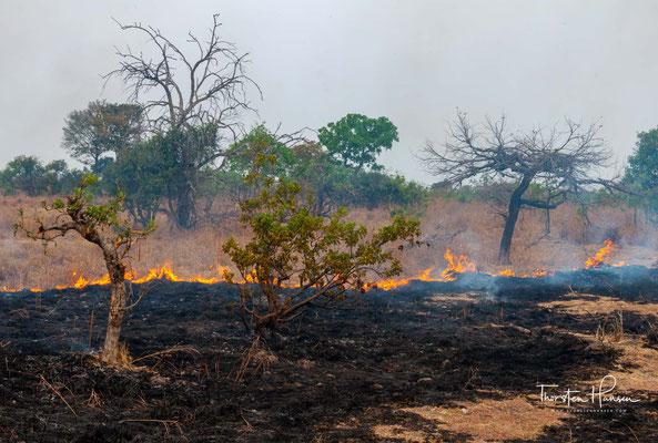 Der Wildbestand des Parkes gilt als stark gewildert. Der Baumbestand, vor allem Teak, ist stark gelichtet.