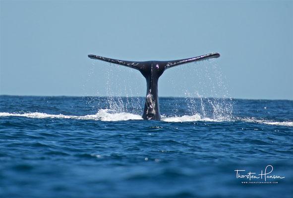 Dabei können sich abhängig von der Größe des Beuteschwarmes auch mehrere Wale zusammenschließen und ihren Beutefang synchronisieren.