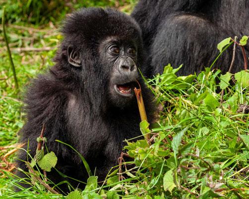 Schon seit den 1950er-Jahren wurde der Bestand auf wenige hundert Tiere geschätzt; Ende der 1980er-Jahre zählte man rund 620 Tiere.