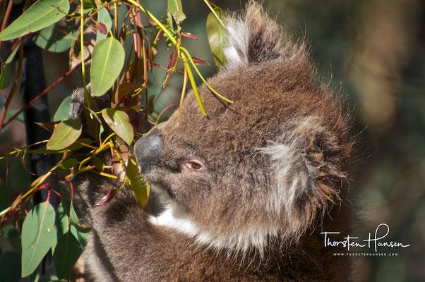 Koala im Yanchep-Nationalpark