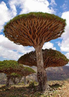 Die Gattung hat eine sehr weite natürliche Verbreitung in den Tropen und Subtropen