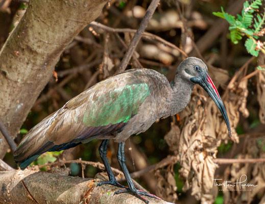 Der Hagedasch (Bostrychia hagedash) ist ein afrikanischer Vogel aus der Familie der Ibisse und Löffler.