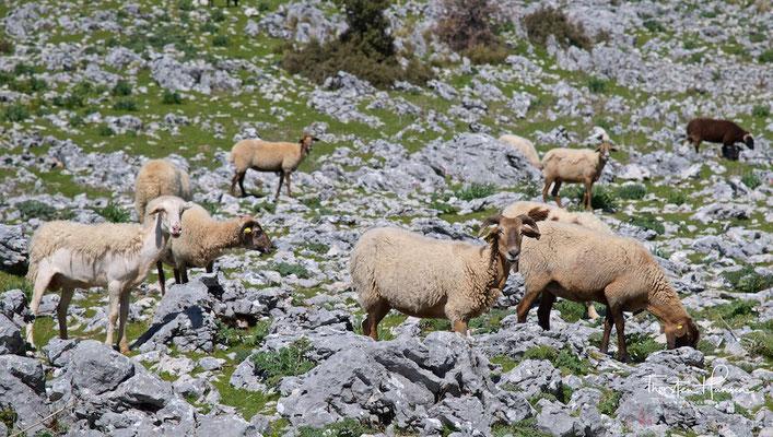 Schafe in der Sierra de Grazalema