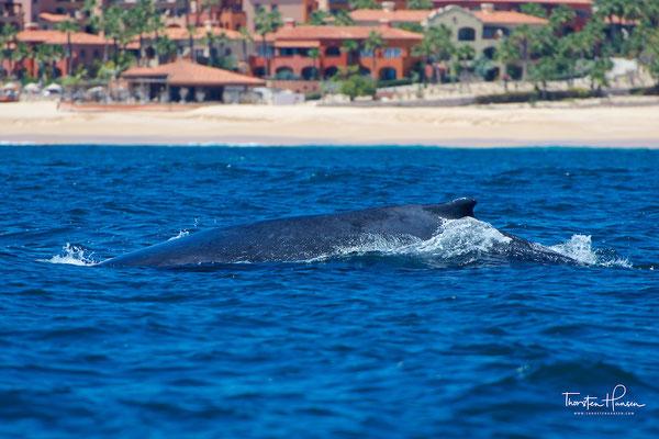 Buckelwale leben überwiegend allein oder gelegentlich zum Jagen und Paaren in kleinen Gruppen von zwei bis neun Tieren