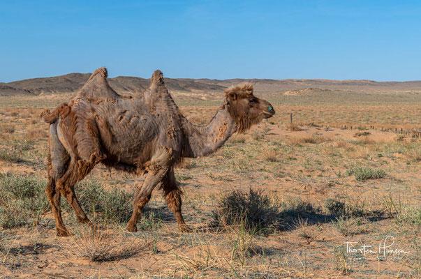 Das Trampeltier, auch als Zweihöckriges oder Baktrisches Kamel bezeichnet (Camelus ferus), ist eine Säugetierart aus der Familie der Kamele (Camelidae)