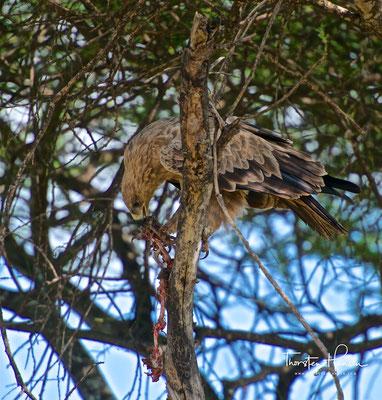 Greifvogel mit Beute im Tarangire-Nationalpark