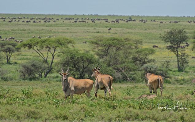 Eland Antilopen im Serengeti National Park