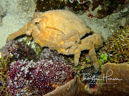 Riesen Krabbe