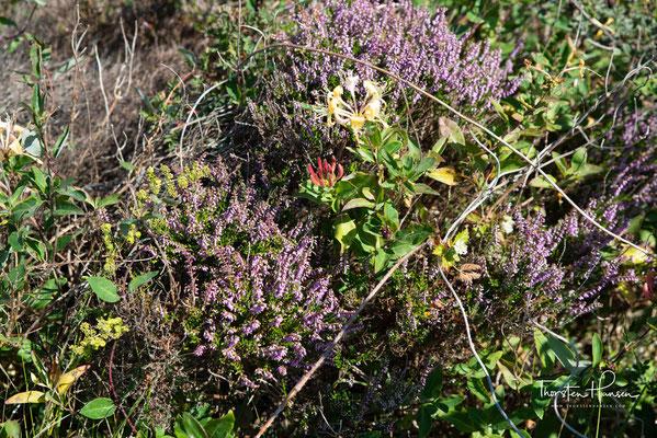 Lila blühenden Heidekraut Calluna vulgaris