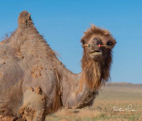 Trampeltiere sind anhand ihrer zwei Höcker vom Dromedar, dem einhöckrigen Kamel, zu unterscheiden