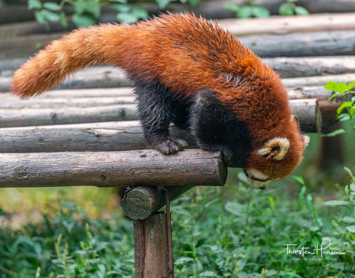 Kleine Pandas sind etwa 120 cm lang, davon entfallen etwa 55 bis 60 cm auf den Schwanz.