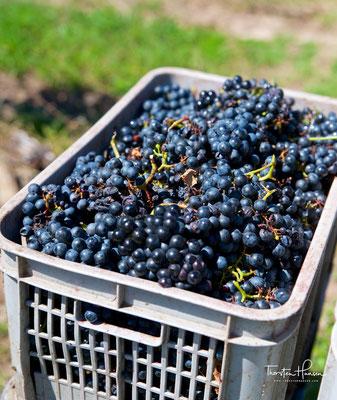 Pizzorno produziert nur Wein aus eigenen Weinreben vom eigenen Weingut