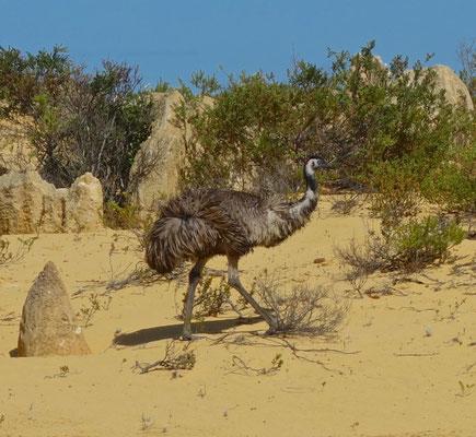 Emu im Pinnacles im Nambung NP