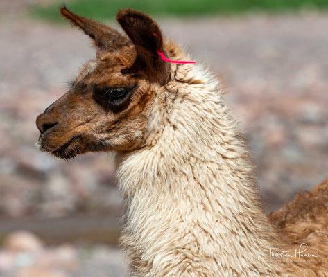 Im Gegensatz zu den Altweltkamelen (Dromedar und Trampeltier) haben Lamas keinen Höcker. Wie bei den meisten Haustieren ist auch beim Lama die Farbe sehr variabel