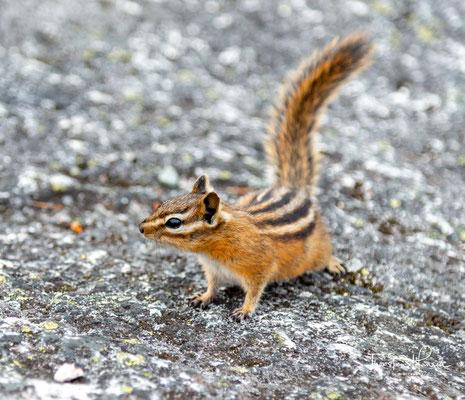 Streifenhörnchen oder Chipmunks
