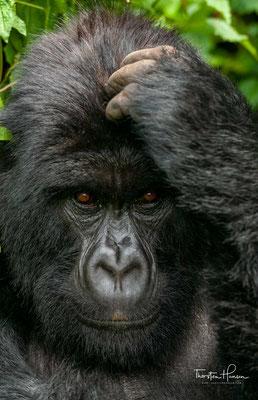 2010 war der Bestand auf knapp 800 Tiere angewachsen – 2006 wurden im Bwindi-Wald 302 Tiere nachgewiesen, 2010 im Virunga-Nationalpark 480 Individuen gezählt.