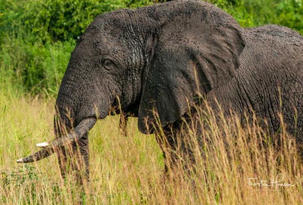 Mit seinen vielfältigen Landschaftsformen und sehr sehenswerten Naturschönheiten, ist dieser 1978 km² große Nationalpark ein Highlight Ugandas