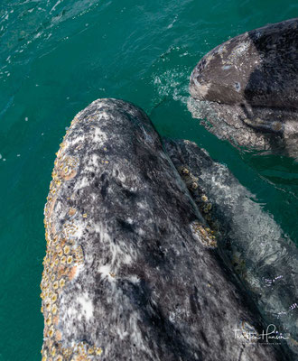 Im eiskalten arktischen Meer würden die Jungen erfrieren, da sie noch keine isolierende Fettschicht aufweisen, daher unternehmen die Grauwale diese lange Migrationsroute zu den flachen und warmen Gewässer der mexikanischen Pazifikküste.