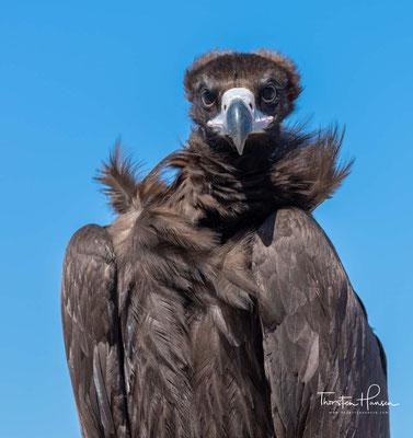 Mönchsgeier / Black Vulture sind in der Mongolei noch häufige Vögel
