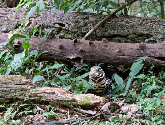 Eine Squamata-Eidechse im Iguazu-Park